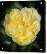 Buttercream Peony Acrylic Print