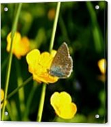Buttercup Butterfly Acrylic Print
