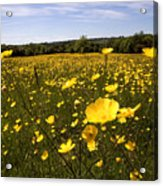 Buttercup Field Acrylic Print