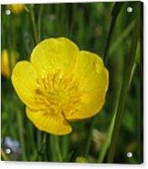 Buttercup Flower Acrylic Print