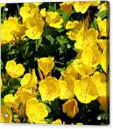 Buttercup Flowers Acrylic Print