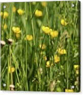 Buttercups And Green Grass At Moore State Park Acrylic Print