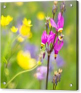 Buttercups And Shooting Star 1 Acrylic Print