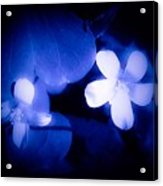 Buttercups In White Blue And Black Acrylic Print