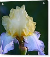 Buttered Blueberry  Acrylic Print