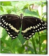 Butterflies Live - 8 Acrylic Print