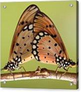 Butterflies Mating Acrylic Print