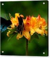 Butterflies On Yellow Azalea Acrylic Print