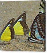 Butterflies Puddling Acrylic Print