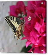 Butterfly 01 Acrylic Print