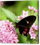 Butterfly-1 Acrylic Print