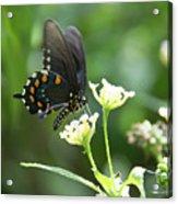 Butterfly 140 Acrylic Print
