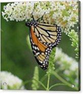 Butterfly 188 Acrylic Print