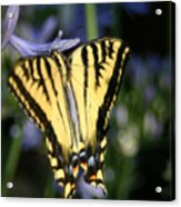 Butterfly - 2 Acrylic Print