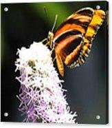 Butterfly 2 Acrylic Print
