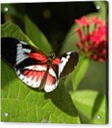 Butterfly-5 Acrylic Print
