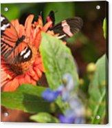Butterfly 6 Acrylic Print