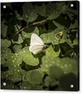 Butterfly 9 Acrylic Print