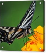 Butterfly Afternoon Acrylic Print