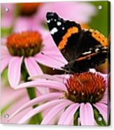 Butterfly And Cone Flowers Acrylic Print