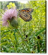 Butterfly And Pink Wildflower Acrylic Print
