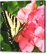 Butterfly And The Geranium Acrylic Print