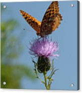 Butterfly And Thistle 1 Acrylic Print