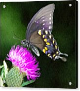Butterfly And Thistle Acrylic Print