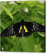 Butterfly Black And Yellow Acrylic Print