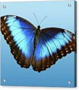 Blue Morpho Beauty Acrylic Print