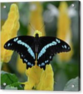 Butterfly Blue Striped Acrylic Print