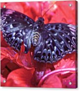 Butterfly Blues - Constable  Acrylic Print