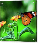 Butterfly Acrylic Print by Chaza Abou El Khair