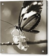 Butterfly Close-up Acrylic Print