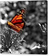 Butterfly Color On Black And White Acrylic Print