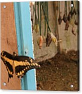 Butterfly Drying His New Wings Acrylic Print