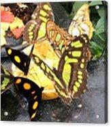 Butterfly Feast  Acrylic Print