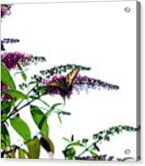 Butterfly Garden II Acrylic Print
