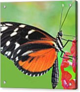 Butterfly  Golden Helicon Acrylic Print