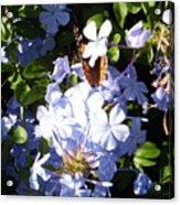 Butterfly I Acrylic Print