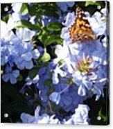 Butterfly IIi Acrylic Print