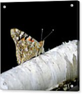 Butterfly Acrylic Print