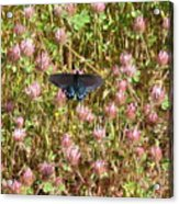 Butterfly In Clover Acrylic Print