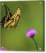 Butterfly In Flight Acrylic Print