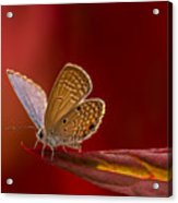 Butterfly In Red Acrylic Print