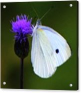 Butterfly In White Acrylic Print