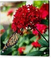 Butterfly Kiss Acrylic Print