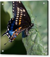 Butterfly Laying Eggs Acrylic Print