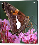 Butterfly-licking Acrylic Print