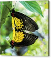 Butterfly Mating Acrylic Print